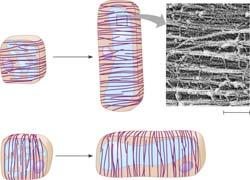 The orientation of the cytoskeleton Affects the direction of cell elongation by controlling the orientation of cellulose microfibrils within the cell wall Microtubules and Plant Growth