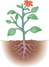 Three basic organs evolved: roots, stems, and leaves They are organized into a root system