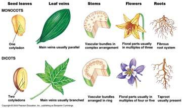 Monocots and Dicots Monocots and dicots Differ in the arrangement of veins, the vascular tissue of leaves are the two major divisions of Angiosperms Most monocots Have parallel veins Most dicots Have