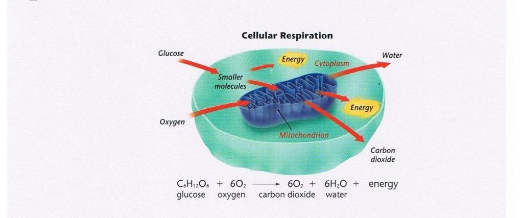 Figure 2 Directions: Use Figure 2 to answer the following questions. 5. What is cellular respiration? 6.