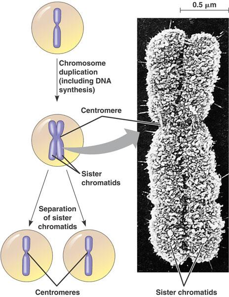 DNA replication (continued) Before cell division, chromatin condenses Each duplicated chromosome consists of two sister