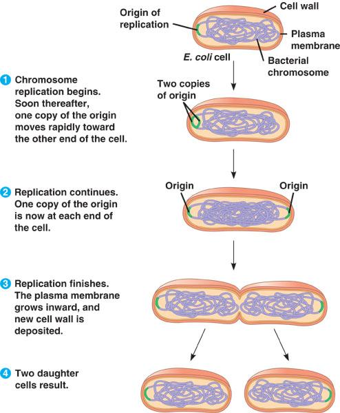 Cell Division in Prokaryotes Mitosis in eukaryotes may have evolved from binary fission in prokaryotes Bacterial chromosome is a circular DNA molecule with