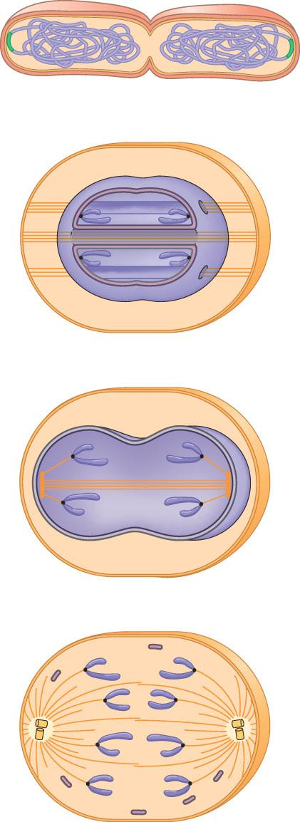 Prokaryotes. During binary fission, the origins of the daughter chromosomes move to opposite ends of the cell.
