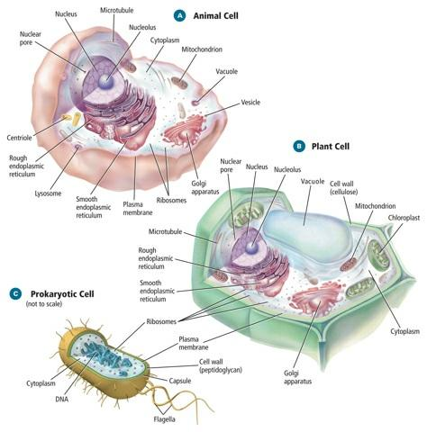 Figure 2 Compare the illustrations of a plant cell, animal cell, and prokaryotic cell. Some organelles are found only in plant cells; others are found only in animal cells.