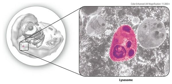 Factories and cells also need cleanup crews. In a cell, there are lysosomes, shown in Figure 7, which are vesicles that contain substances that digest excess or worn-out organelles and food particles.