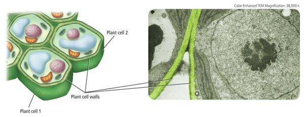 photosynthesis. Examine Figure 10 and notice that inside the inner membrane are many small, disk-shaped compartments called thylakoids.