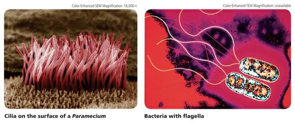 Flagella (singular, flagellum) are longer and less numerous than cilia. These projections move with a whiplike motion.