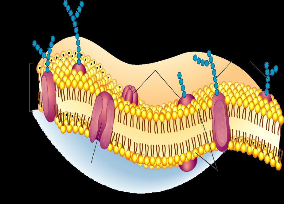 Outside of cell Cell membrane Proteins Composed of a double layer of phospholipids and