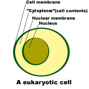 Surrounds nucleus of eukaryotic cells Openings