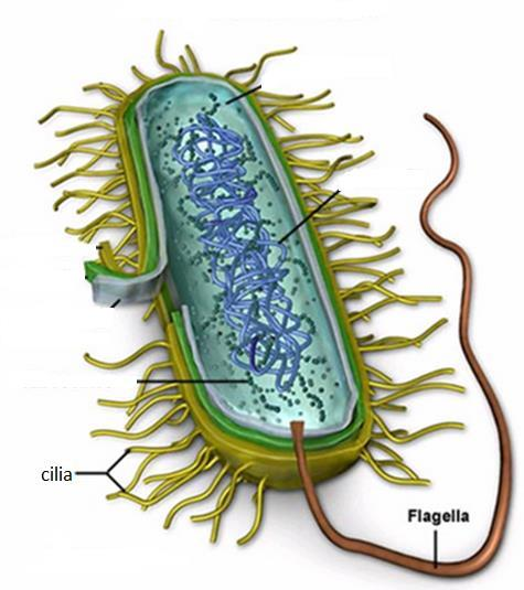 locomotion Flagella: a long