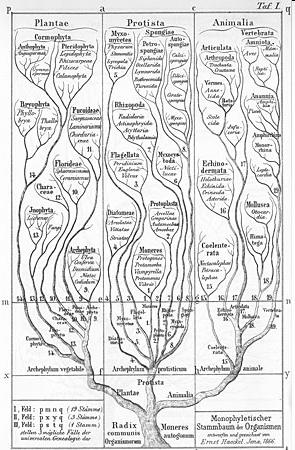 Molecular phylogenetics Ø Ernst Haeckel s tree of organisms was based on the similarity of morphological features of organisms.