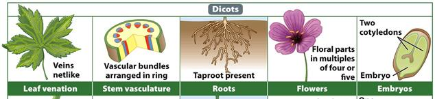 Dicots Angiosperms: Dicots Dicots have leaf veins, which contain vascular tissues and are arranged in a netlike pattern The taproot is the