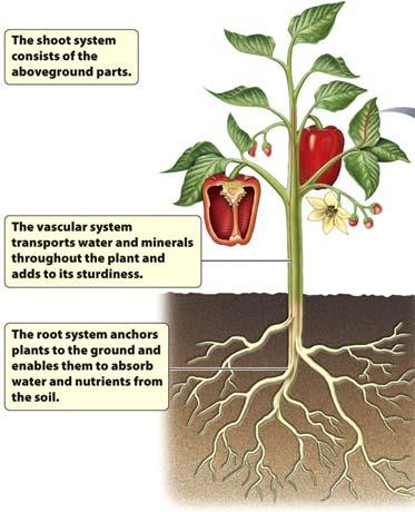 belowground in the seed husk The Plant Body The body of a plant can be divided into the root system belowground and the shoot system