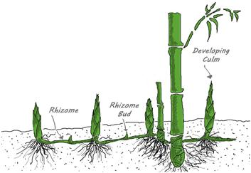 tissue Plant Organ: Stems Dicot Stem Adaptations in