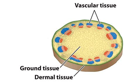 Ground Tissues Have Many Essential Roles Support: Pressure from water within the cells acts as a skeleton