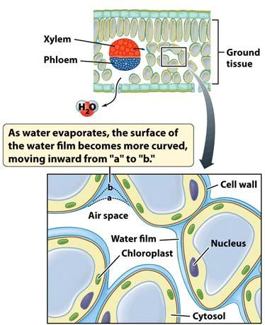 Phloem Xylem Xylem Transport Is Driven by Transpiration Xylem Transport Is Driven by Transpiration The