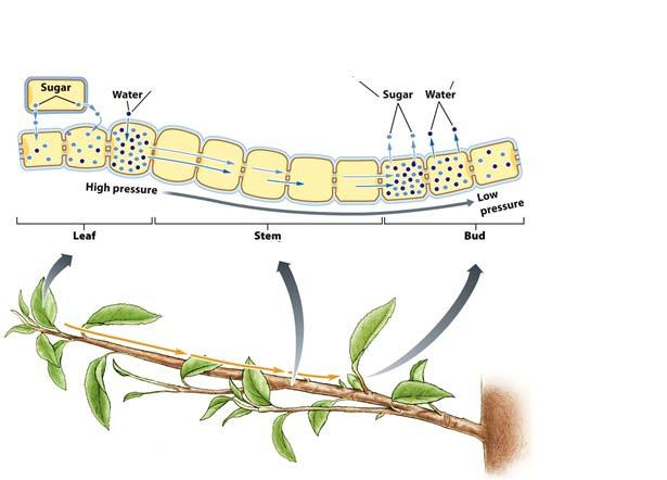 Phloem Transport Is Driven by Osmosis Cells that are respiring pull the sugar out of the phloem cells.