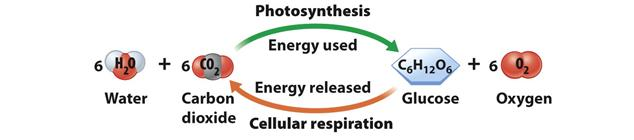 s energy to grow They use sunlight, CO 2, and H 2 O to make sugars that will be used by the plant cells for cellular energy How Plants Use the Energy they Make Cellular Respiration: Energy Released
