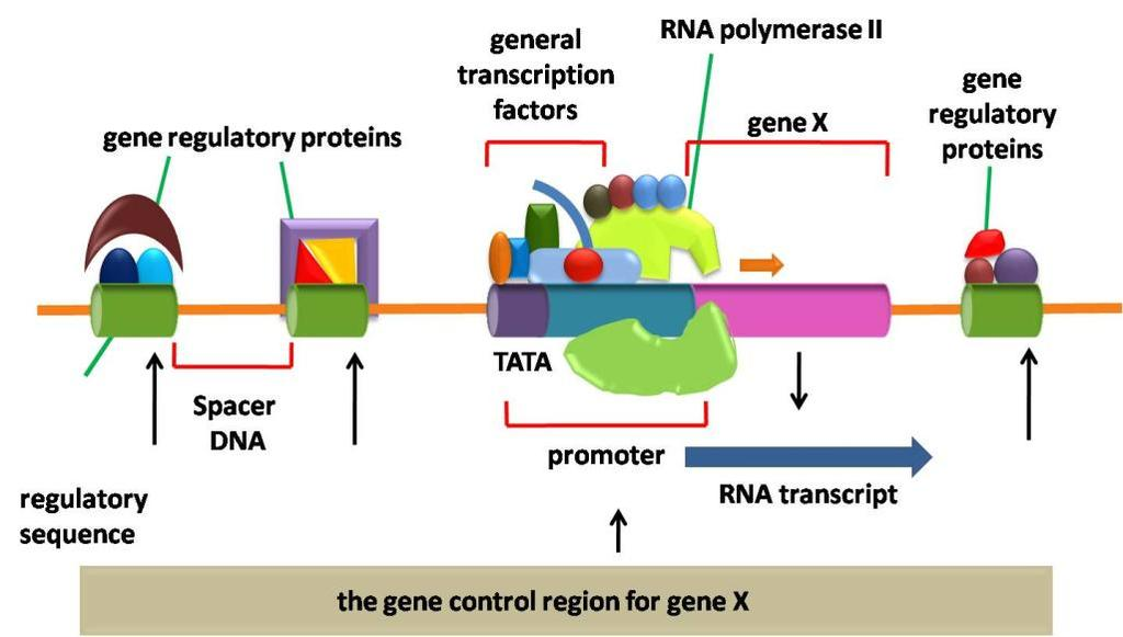 Fig 2: Factors that influence the regulation of a typical gene X A variety of structural motifs present in transcription factors interact with DNA at specific sequences.