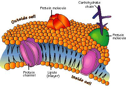 Organelles of the cell Cell membrane Forms the outside boundary that separates the cell from the environment.