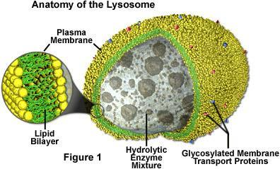 Lysosomes Recycling center of the cell. Small, round structures containing chemicals that break down certain materials in cells.