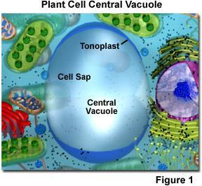 Vacuoles Membrane bound sacs within a cell that perform various functions. Some sacs act as a storage area for the cell. Store excess nutrients, water, waste products, etc.