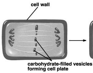 Carbohydrate-filled vesicles line up on cell equator 2) Cells fuse, producing