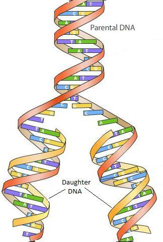 When does the cell copy its DNA? S-phase (interphase) Why does the cell copy its DNA?