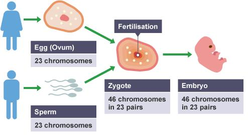 Sexual Reproduction Zygote the diploid cell that