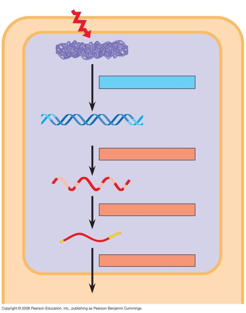 Signal Chromatin NUCLEUS Chromatin modification DNA Gene available for transcription Gene Transcription