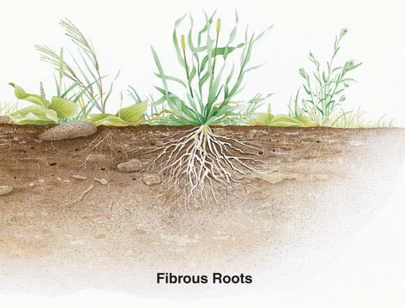 Types of Roots Fibrous roots branch to such an extent that no single root grows