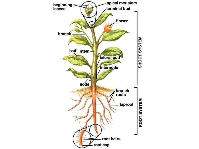 hormones 6) Produce some hormones 7) Interact with soil fungi and bacteria Functions