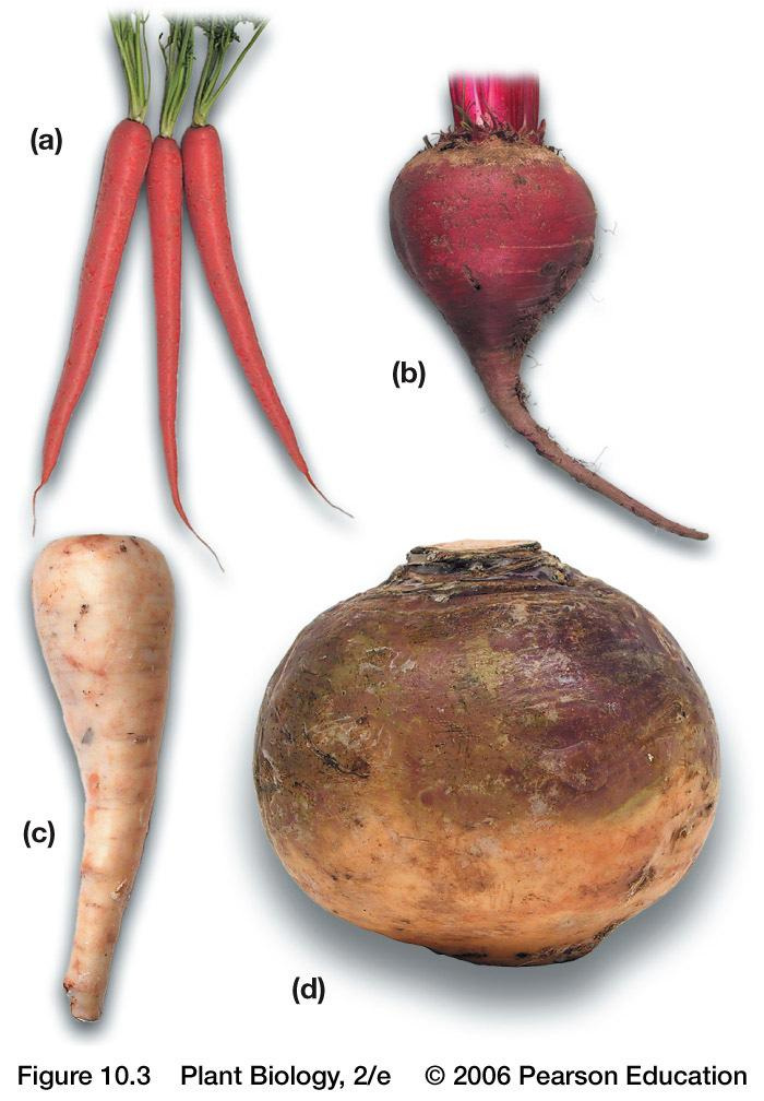 Relevance of Roots Sources of food Carrots, sugar beets, turnips, horseradishes, cassava (tapioca), yams, sweet potatoes Spices Sassafras, sarsaparilla, licorice Dyes Drugs Aconite,