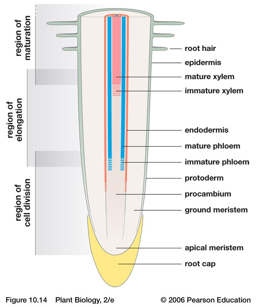 food Cross section of dicot root Root Structure Root Structure Region of