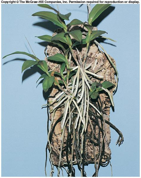 Specialized Roots Specialized Roots Aerial Roots Orchids - Velamen roots,