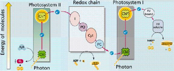 Transport hain Series of Proteins embedded in a
