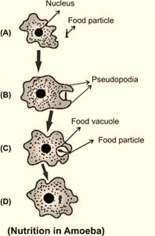 7 the food vacuole, complex substances are broken down into simpler ones which then diffuse into the cytoplasm. The remaining undigested material is moved to the surface of the cell and thrown out.