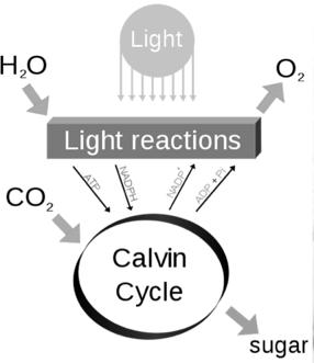 . Reactants Products carbon + water + glucose + oxygen dioxide energy 6C + 6H 2 O + C 6 H 12