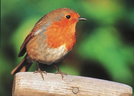 The same common name may be used for different species. For example, the bird called a robin in Canada is a different species from the bird called a robin in Great Britain (Figure 11.14).