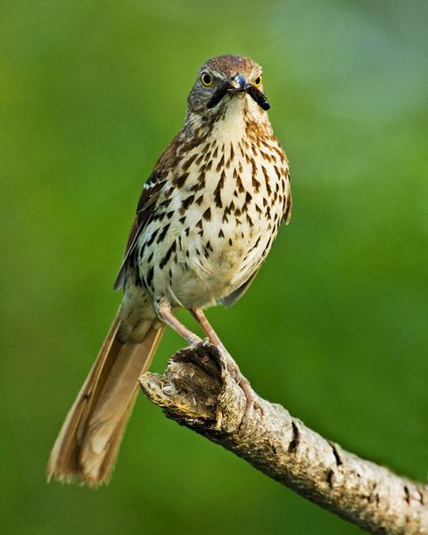 SB4: Students will assess the dependence of all organisms on one another and the flow of energy and matter within their ecosystem. The brown thrasher is the Georgia state bird.