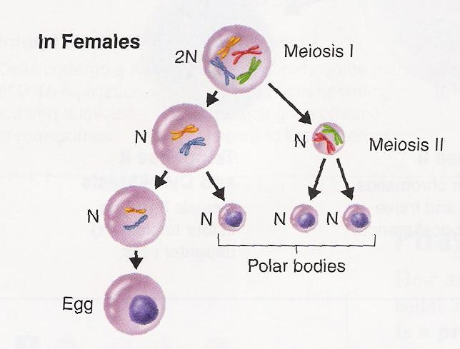 Gamete (Sex Cell) Formation In female animals (including humans), the haploid gametes produced by meiosis are called eggs The cell divisions at the end of