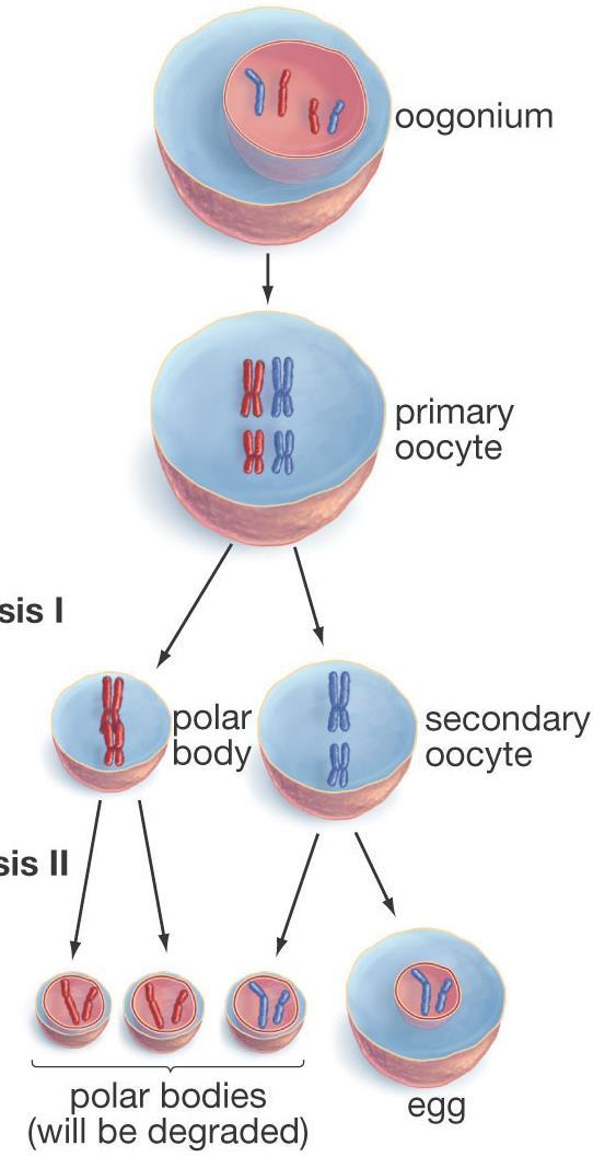 Meiosis Introduction (1 st tab middle) Chromosome Numbers Somatic cells: