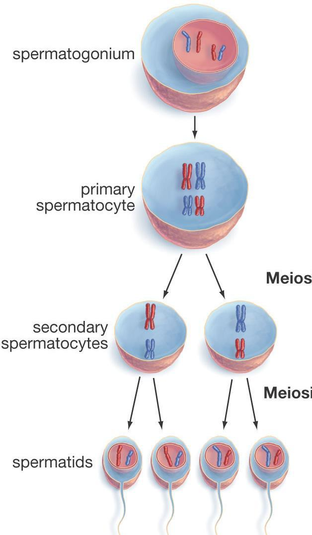 chromosomes in humans) can also be called Germ Cells You DO NOT have to draw