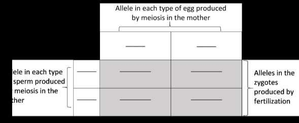 Use chalk to outline the rectangles of this chart on your lab table. One person in your group should use one pair of model homologous chromosomes to demonstrate how meiosis produces eggs.