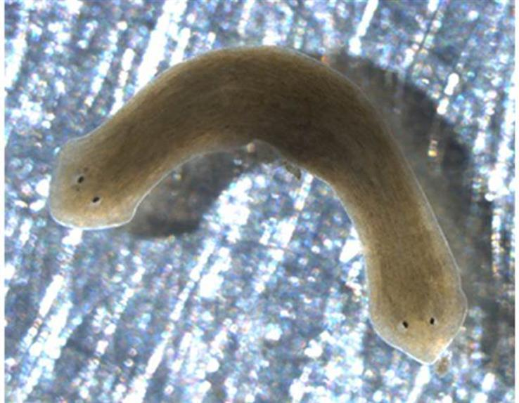 Flatworms -