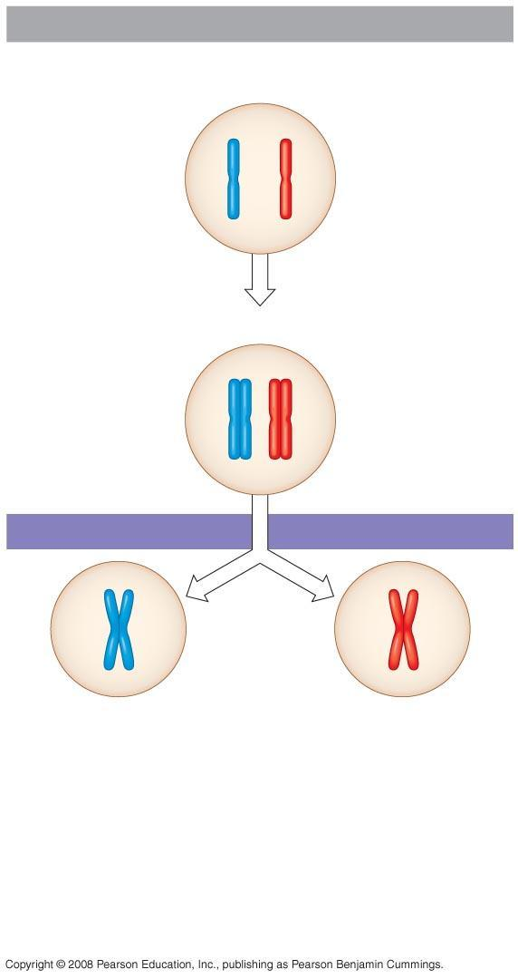 Fig. 13-7-2 Interphase Homologous pair of chromosomes in diploid parent cell Chromosomes replicate Homologous pair of replicated chromosomes
