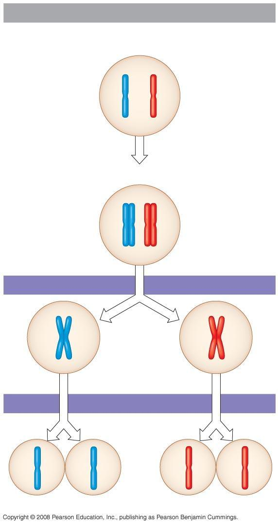 Fig. 13-7-3 Interphase Homologous pair of chromosomes in diploid parent cell Chromosomes replicate Homologous pair of replicated chromosomes Sister chromatids Diploid cell with