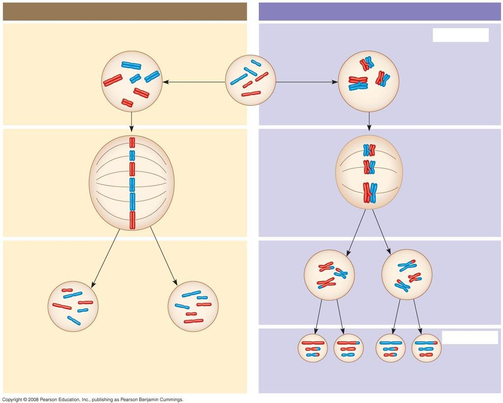 Fig. 13-9a MITOSIS MEIOSIS Parent cell Chiasma MEIOSIS I Prophase Chromosome replication Chromosome replication Prophase I Replicated chromosome 2n = 6 Homologous chromosome pair