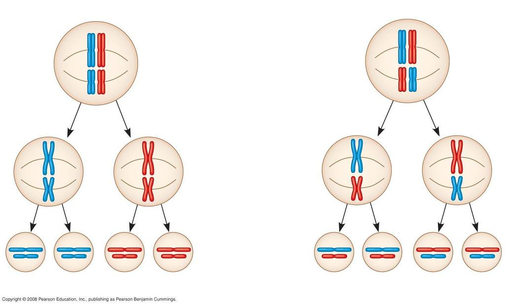 Fig. 13-11-3 Possibility 1 Possibility 2 Two equally probable arrangements of chromosomes at