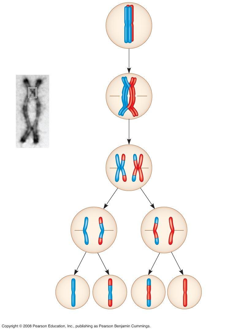 Fig. 13-12-5 Prophase I of meiosis Pair of homologs Chiasma Nonsister chromatids held